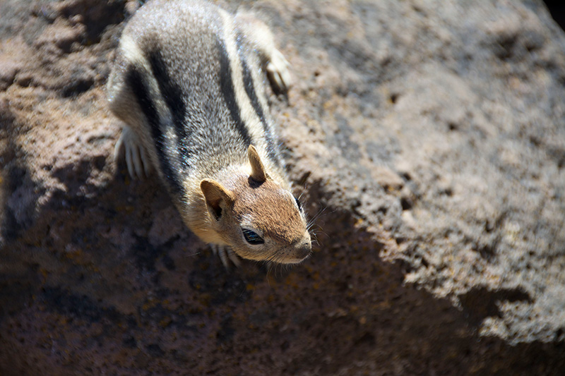 Chipmunk on Black Butte, Sisters, Oregon