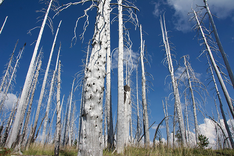 No tree bark 8 years after wildfire